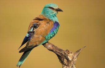 Tollászkodás után jól látszik a madáron a geolokátor (Fotó: Jakab Sándor).