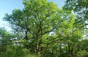 Pusztai tölgyes a Peszéri-erdőben