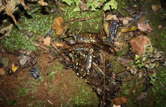 Tömeges szalamandra-pusztulás Hollandiában (fotó: Martha Diepenbeek)