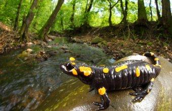 Foltos szalamandra nőstény patakparton (fotó: Rahmé Nikola)