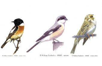 2021 év madara szavazás fajai (balról jobbra): cigánycsuk, kis őrgébics, sordély (grafikák: Kókay Szabolcs)