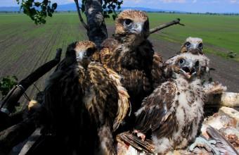 Falco cherrug fiókák (Fotó: Szitta Tamás)