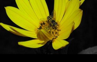 Zengőlégy faj (Fotó: Kónya Máté)