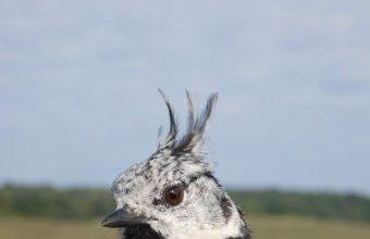 Búboscinege gyűrűzött példánya (Fotó: Faragó Ádám)