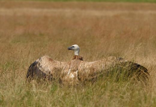 Fakó keselyű (Fotó: Mészáros József)