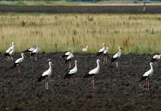 Vonulásra készülő fehér gólyák (Fotó: Orbán Zoltán).