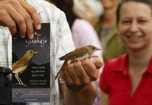 Sok rendezvényhelyszínen bemutató madárgyűrűzéssel is várjuk az érdeklődőket,ahol az egyik fő célfaj természetesen a fülemüle (Fotó: Orbán Zoltán).