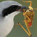 A madarak globálisan 400-500 millió tonna rovart fogyasztanak el évente (Forrás: https://link.springer.com/article/10.1007%2Fs00114-018-1571-z)