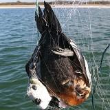 Steller-pehelyréce hálóba akadva (Fotó: M. Vetemaa)