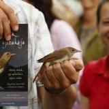 Sok rendezvényhelyszínen bemutató madárgyűrűzéssel is várjuk az érdeklődőket,ahol az egyik fő célfaj természetesen a fülemüle (Fotó: Orbán Zoltán)