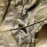 Az egyik ilyen faj ez az első pillantásra kolibrinak tűnő, valójában a Kárpát-medencét övező magashegységek sziklafalain fészkelő hajnalmadár, mely itt nem tipikus helyen, fán látható (Fotó: Orbán Zoltán).