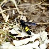 A sötétszárnyú tőrösdarázs a rovarcsoport egyik leggyakrabban látható, településeken is előforduló faja (Fotó: Orbán Zoltán).