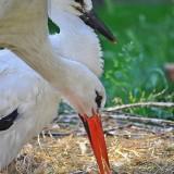 Fehér gólyák (Fotó: Szúnyog Gábor)