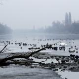 Telelő vízimadarak a csepeli Kis-Dunán (Fotó: Orbán Zoltán).