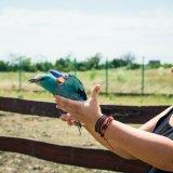 Az elengedés pillanata. A madarat Nagygyőry Anna, aki önkéntesként Egyesületünk és a Madárkórház munkáját is segíti, engedte szabadon.